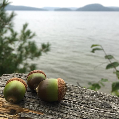 Collecting acorns at Lollygag Lookout, Camp Wabikon