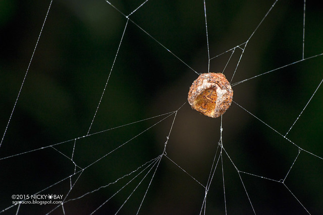 Roly poly orb weaver (Xylethrus scrupeus) - DSC_3963