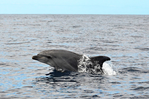 Dolphins, Los Gigantes, Tenerife