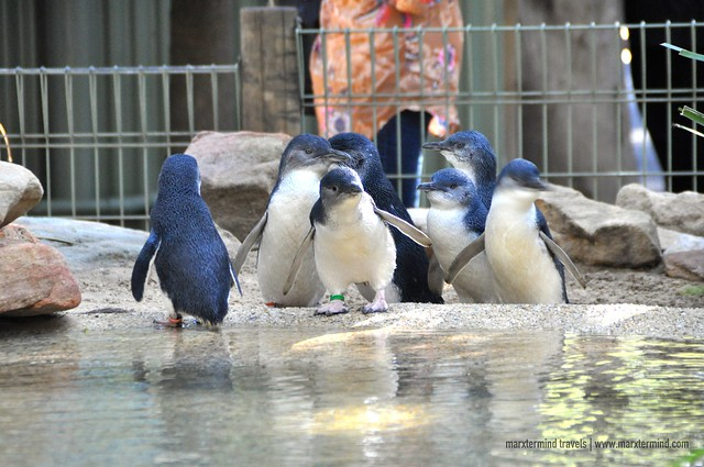 Little Penguins at Featherdale Wildlife Park