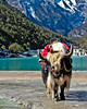 The lonely yak 孤獨的犛牛