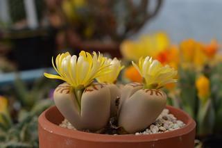 DSC_1494 Lithops dorotheae リトープス属 麗虹玉 (れいこうぎょく)