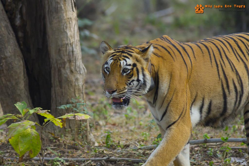 Bengal Tigress (Choti Tara)