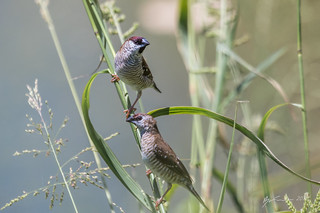 Plum Headed Finches