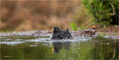 Black bird bathing
