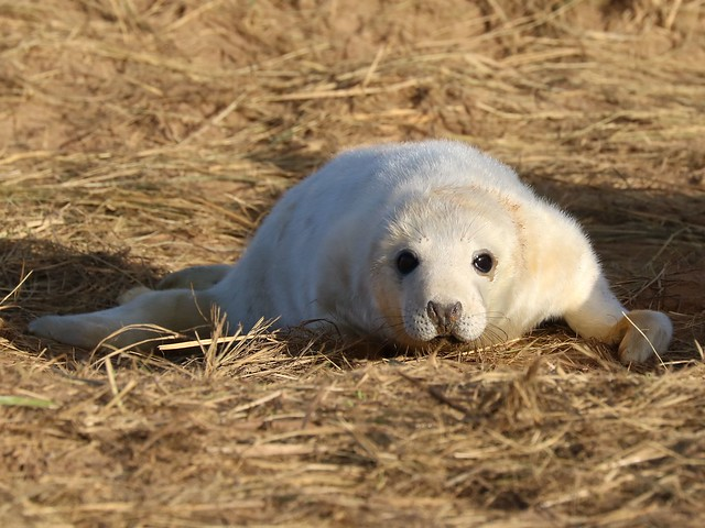 Grey Seal Pup, Canon EOS 750D, Canon EF 70-300mm f/4-5.6L IS USM