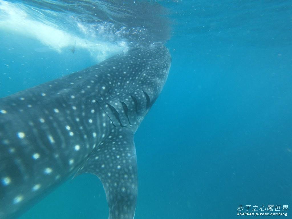 宿霧鯨鯊游泳-Oslob Whale Shark-009