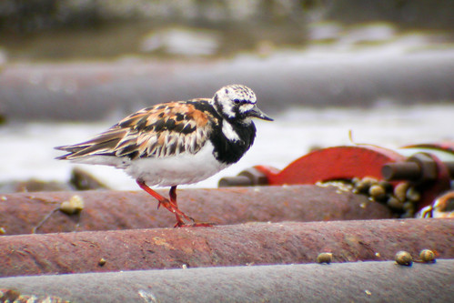 bird wildlife birding ornithology birdwatching oiseau ruddyturnstone faune ornithologie tournepierreàcollier
