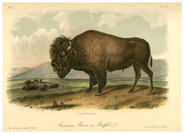 014-Bisonte americano-The quadrupeds of North América-Vol2- 1849- 1854-J.J. Audubon-Universite de Strasbourg