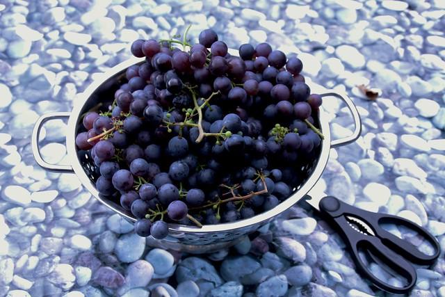 druivenoogst 2015