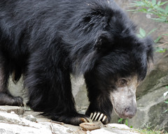 animal(1.0), american black bear(1.0), mammal(1.0), fauna(1.0), sloth bear(1.0), bear(1.0),