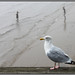 Seagul by LesleyPhillips Images