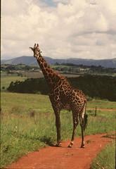 Giraffa camelopardalis giraffa DT [SW Mlilwane] 0112