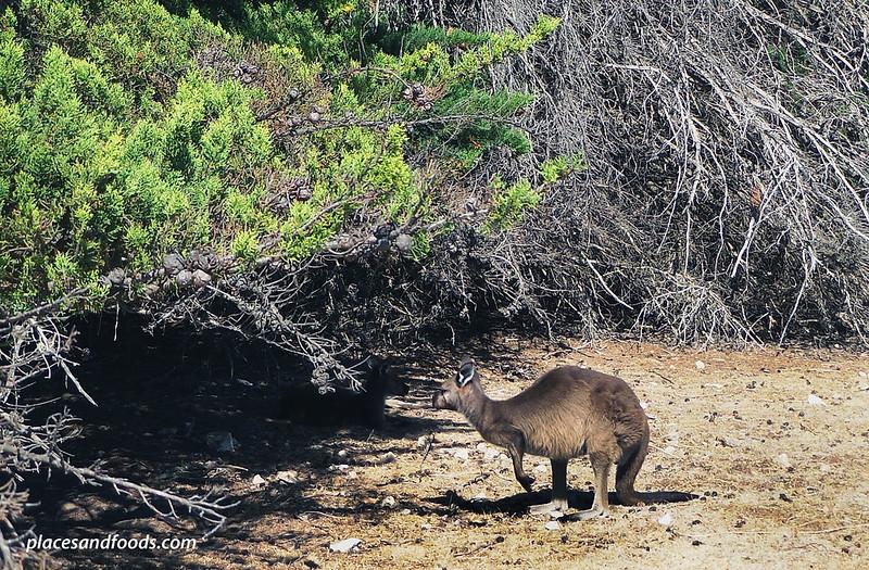 kenny hill conservation park kangaroo