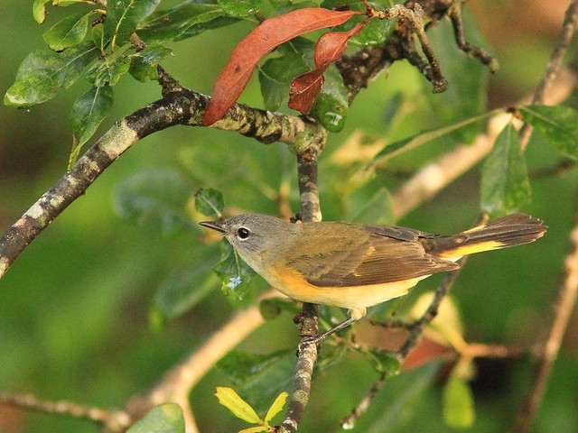 American Redstart female 20151015