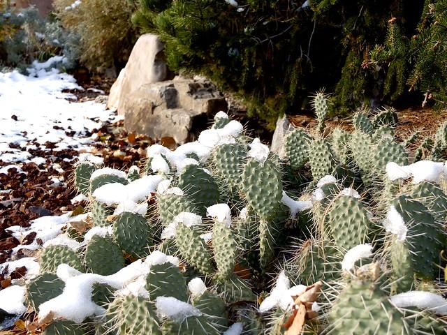 Cactus in winter