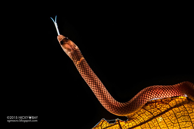 Dwarf reed snake (Pseudorabdion longiceps) - DSC_7418