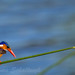 Malachite Kingfisher - dedicated to France... by Willievs
