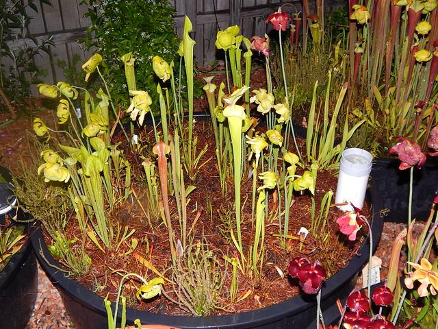 Sarracenia garden - flava variants