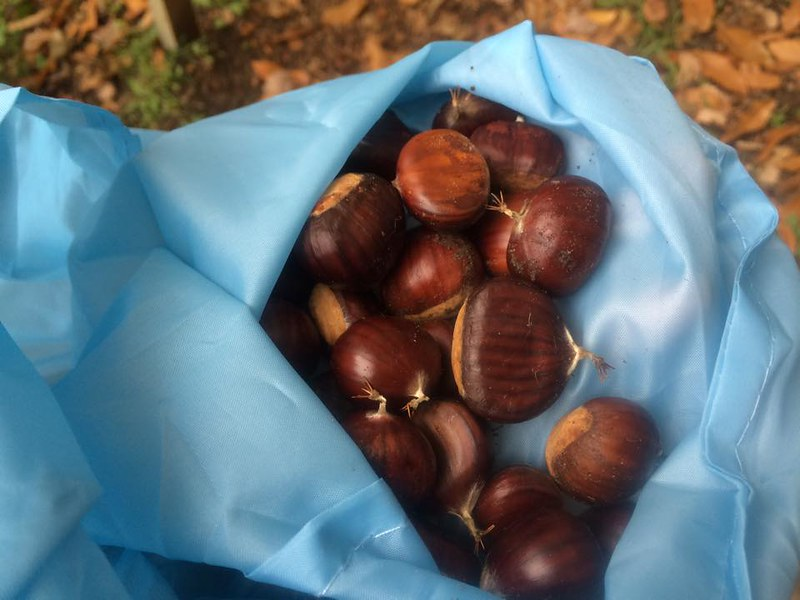 Chestnuts picking (4)