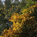 Field Maple colouring for Autumn by stephenmid