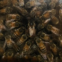 Queen bee from the Heard Museum's observation hive.