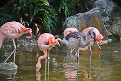 Chilean Flamingos at the Los Angeles Zoo