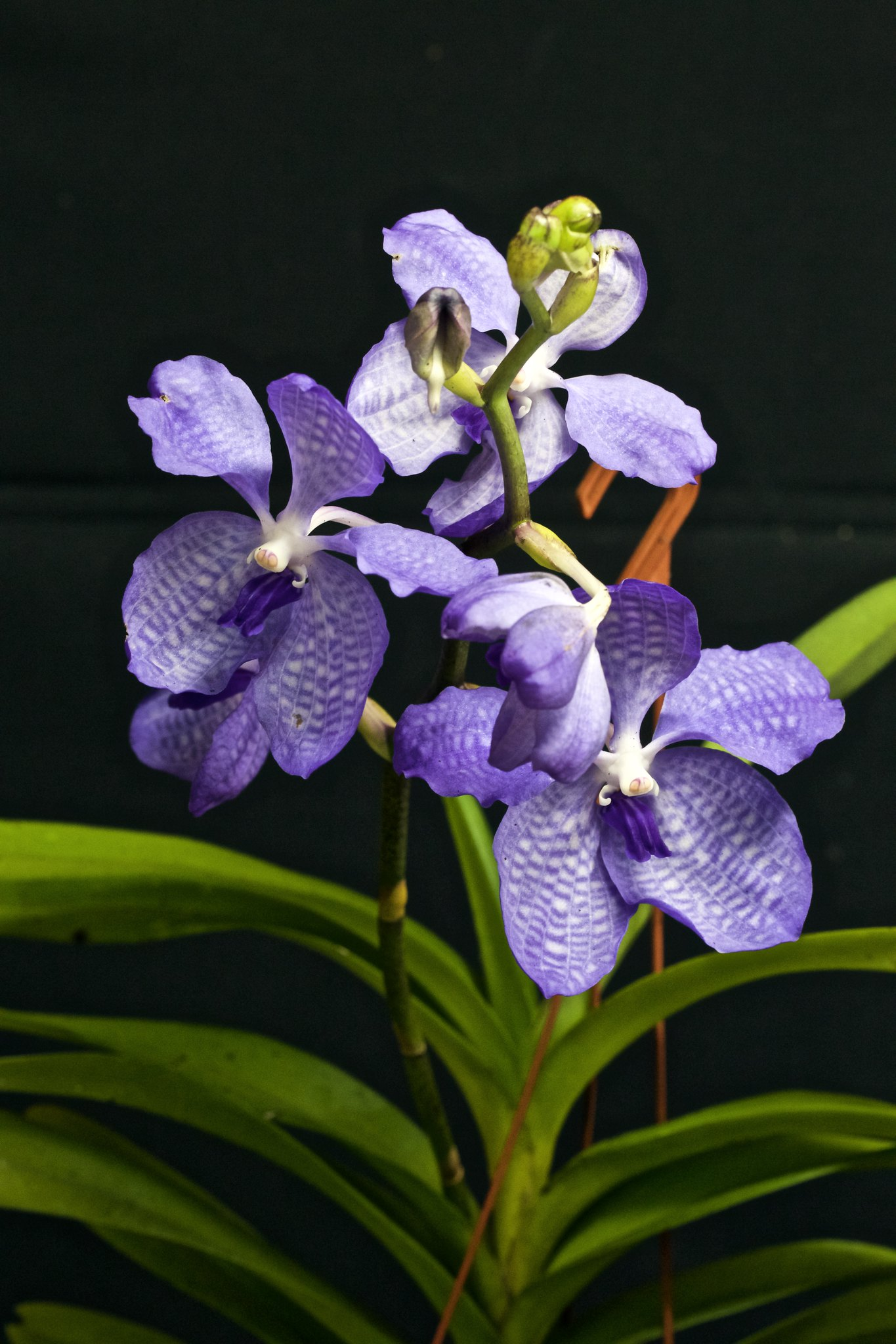 Vanda Coerulea (News photos) 20226648723_45eefb89d1_k