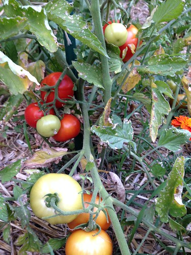 Oregon Spring tomatoes
