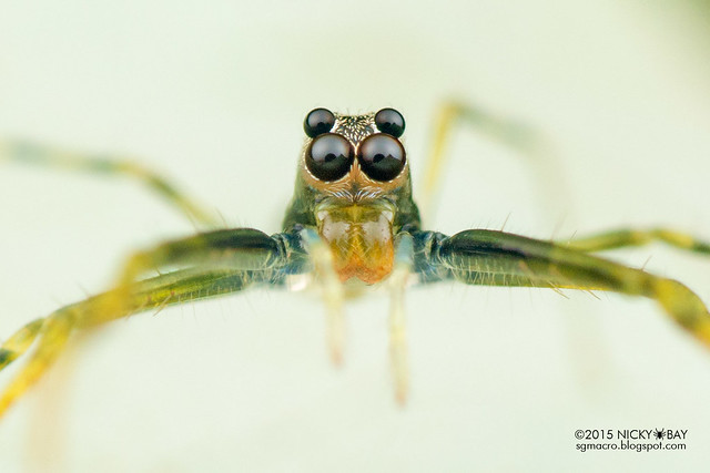 Jumping spider (Lyssomanes sp.) - DSC_2830