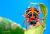 Tortoise orb weaver (Encyosaccus sp.) - DSC_3137 by nickybay