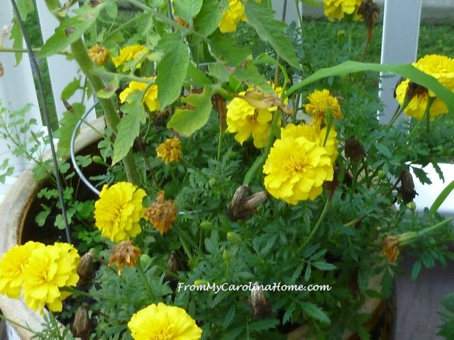 Late August Garden - marigolds