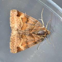 Papillon de nuit - Photo of Viville