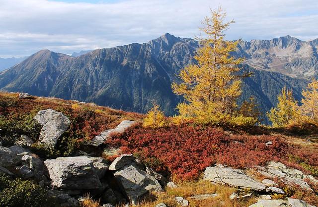 Traversée Montenvers-Plan de l'Aiguille pine tree