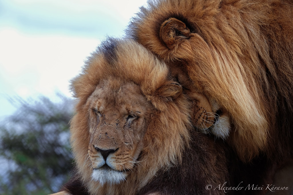 Image result for lion love