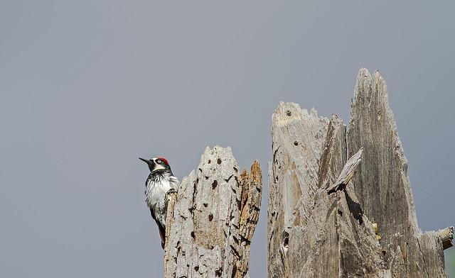 Acorn Woodpecker 7d1_2494