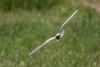 Gaviota enana, Little gull, Larus minutus by http://www.jcfajardophotography.com/