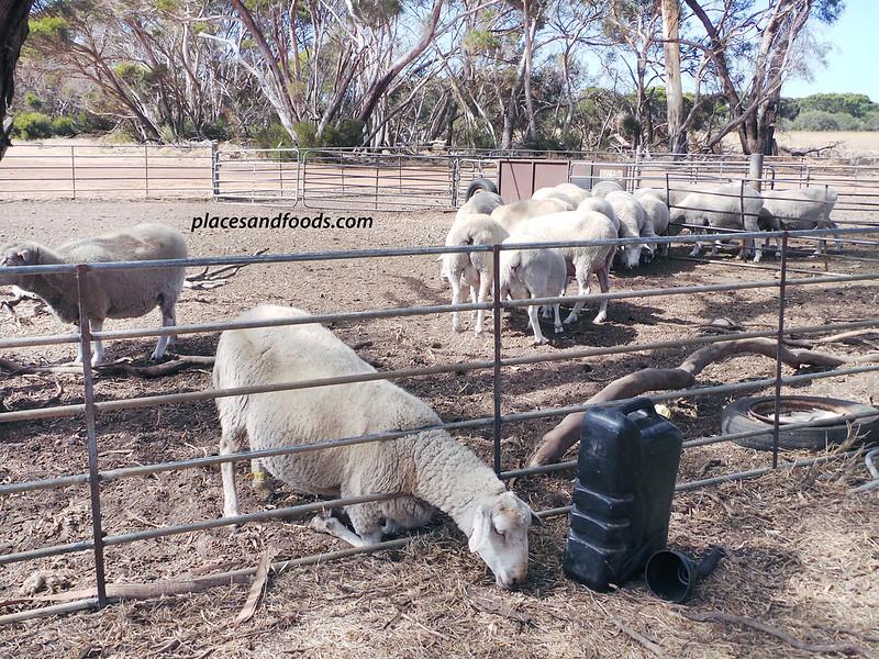 island pure sheep farm