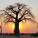 Small photo of Baobab (Adansonia digitata) at Sunset