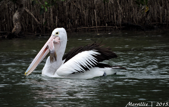 Supper fit for a pelican