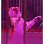 Un tigre docile
