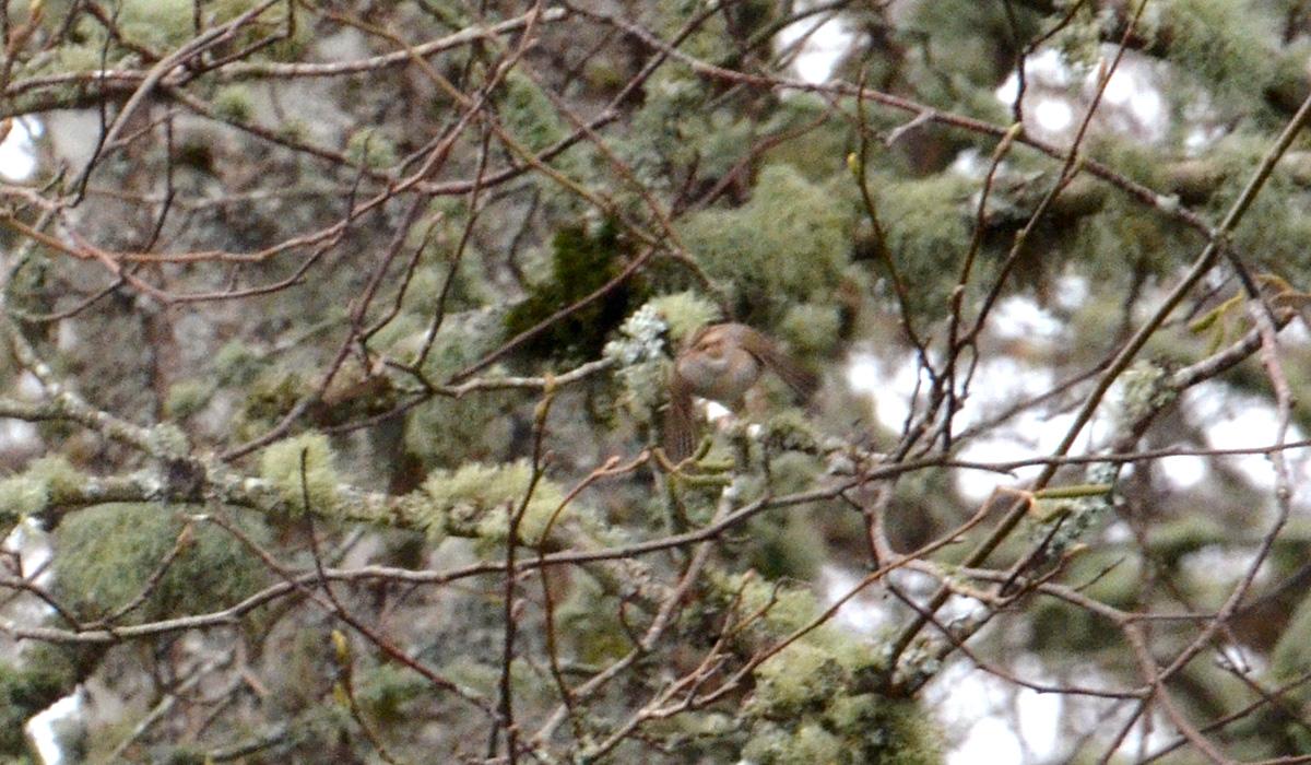 Clay-colored Sparrow - 11/23/2015