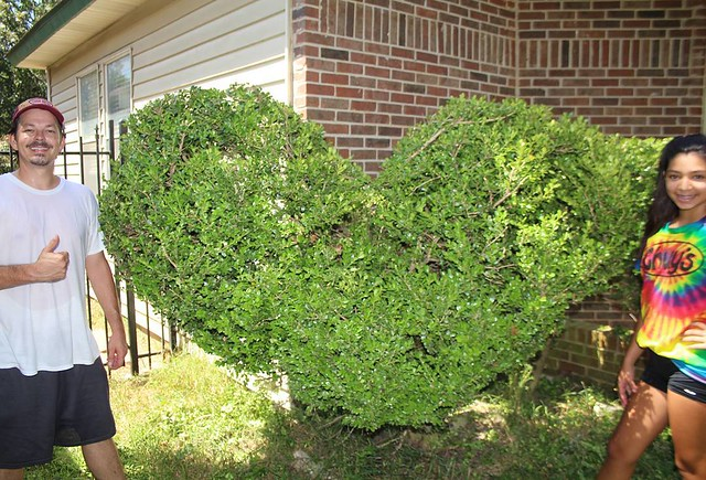 Us spreading love to the neighbors by trimming their shrubs properly;)  #spreadthelove #shrub #shrubs