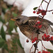 Fieldfare by tsbl2000