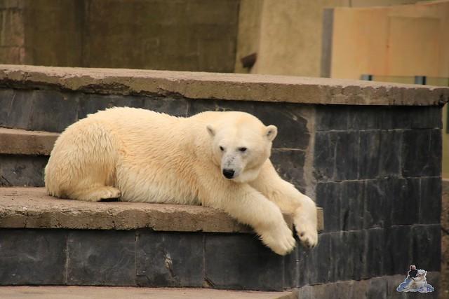 Eisbär Fiete imm Zoo Rostock 15.08.2015 Teil 1  1