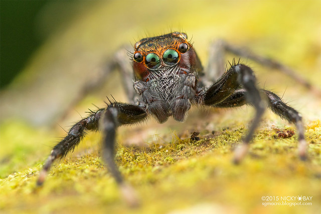 Jumping spider (Salticidae) - DSC_2081