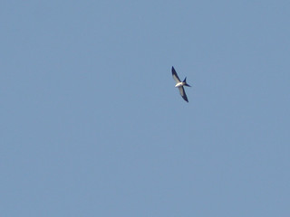 Swallow-Tailed Kite over Champaign