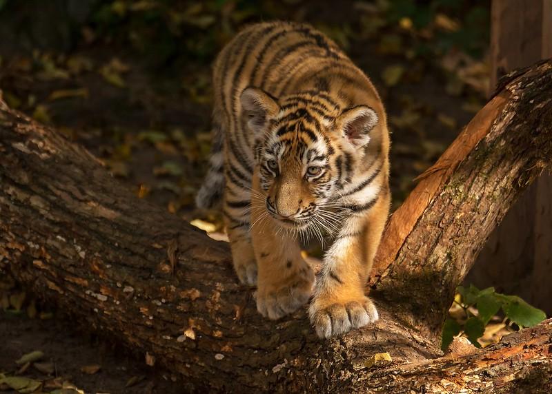 Kleiner Tiger Volodya