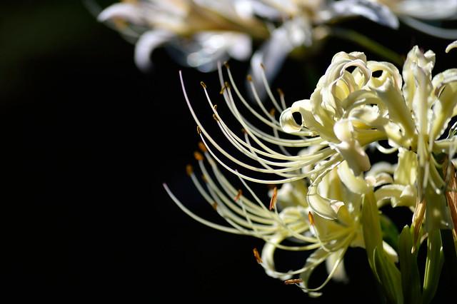 ヒガンバナ Lycoris