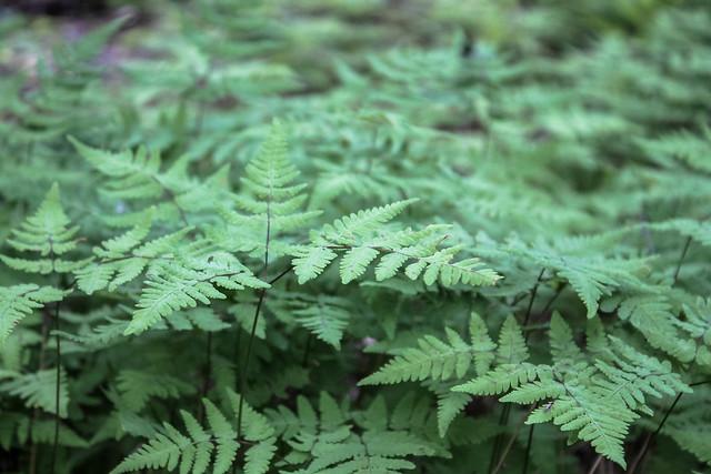 Alaska ferns